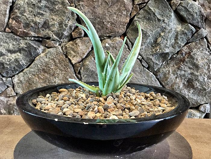 Gran-Canaria_Aloe-Vera-Pflanze