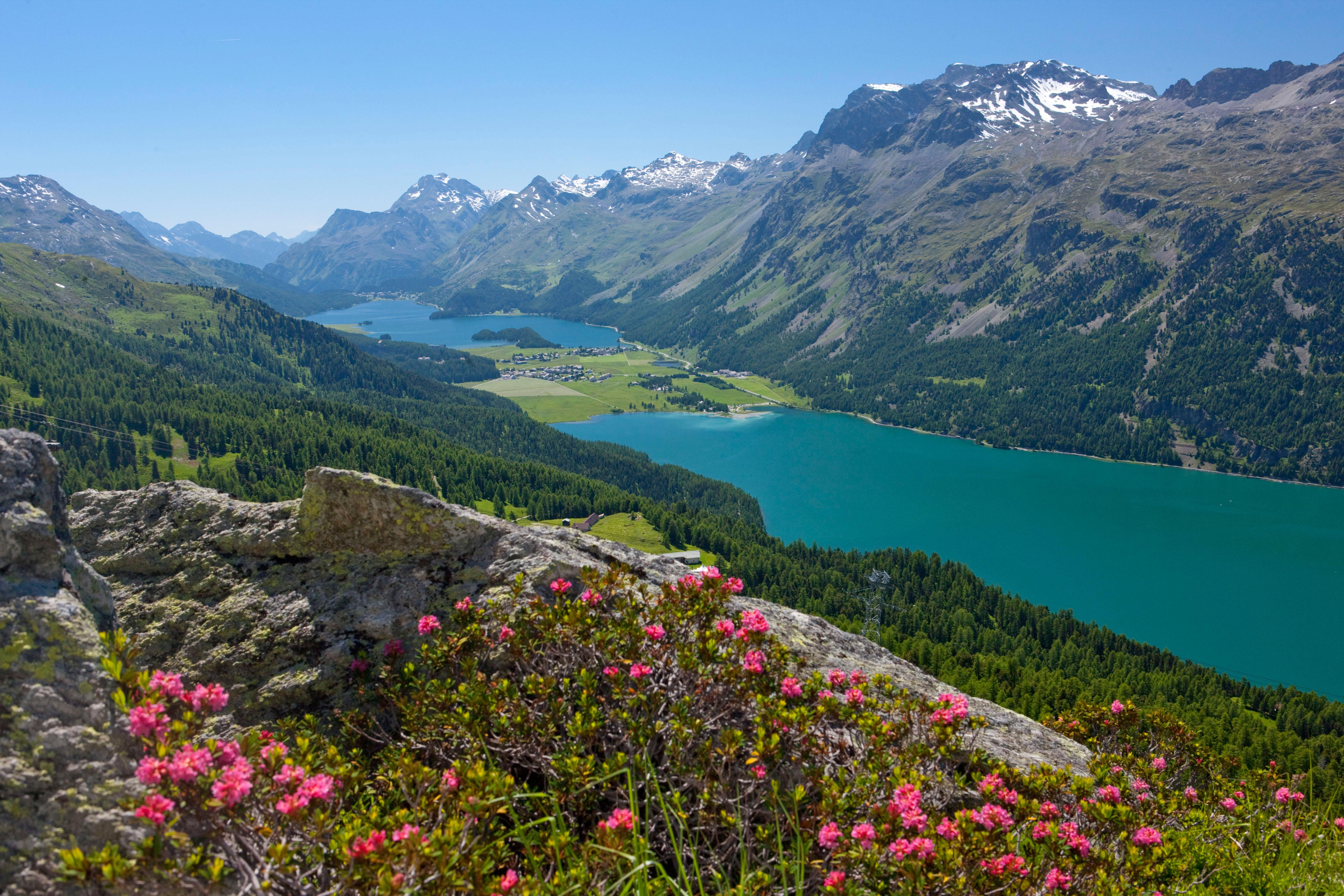ENGADIN St.Moritz: Alpenrosen ueber dem Silvaplanersee