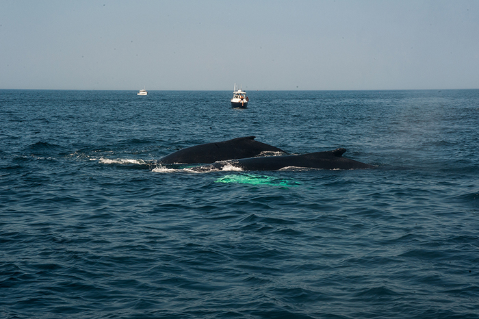 whale_watching_buckelwale