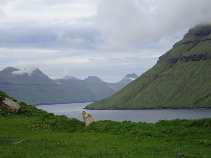 Färöer Schaf