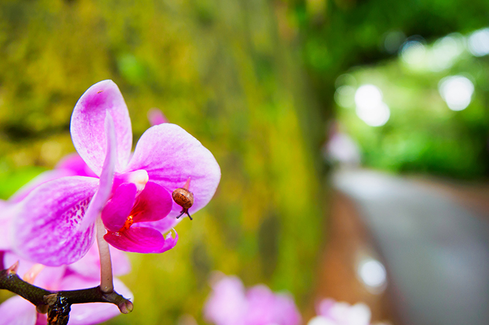 Okinawa-Blume