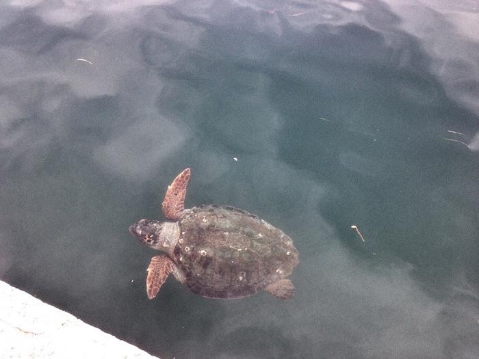 Schildkröte Kefalonia