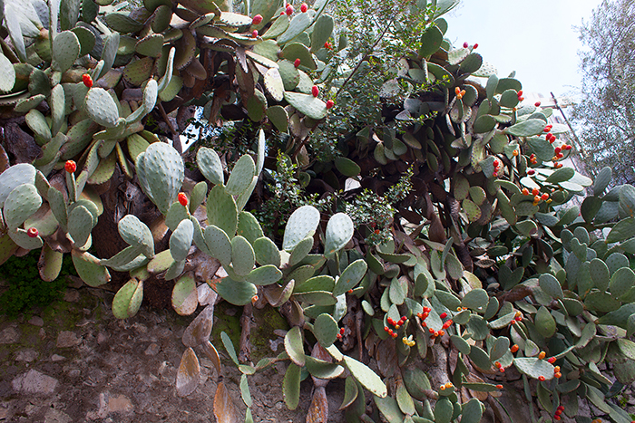 Kaktusfeige_Sizilien