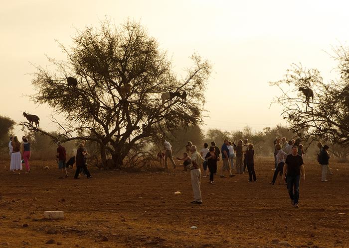 marokko_ziegen_arganien_touristen