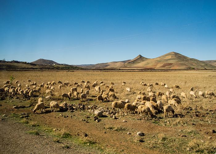 Schafherde_Marokko