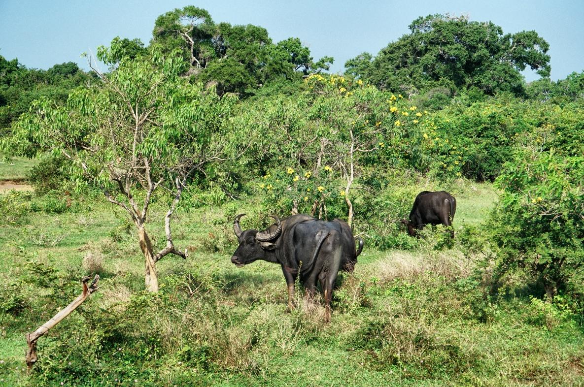 Yala-Wasserbüffel