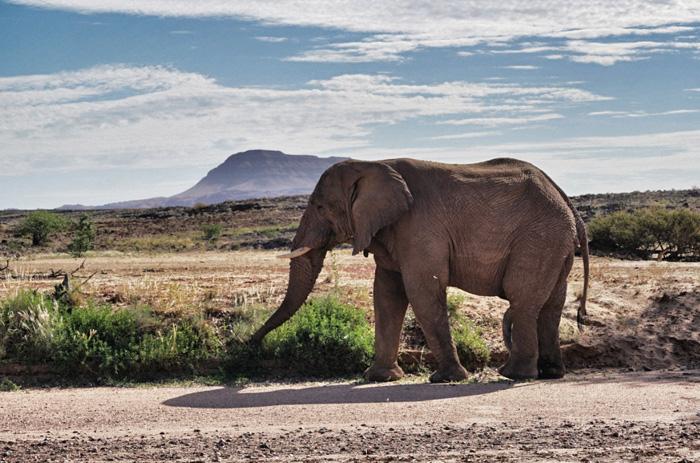 Afrika-Elefanten