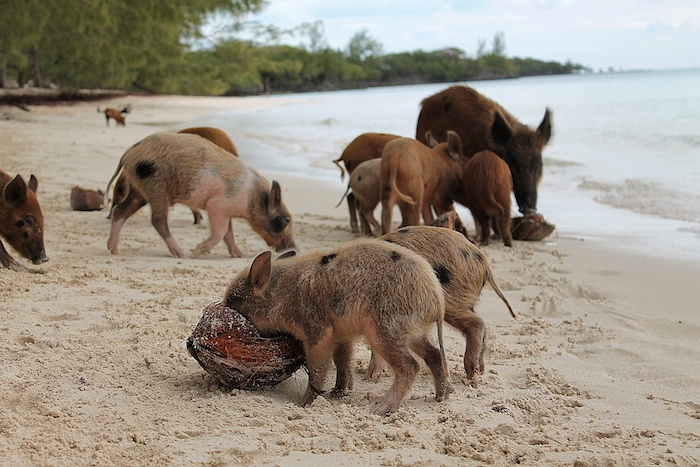 baby schwein bahamas