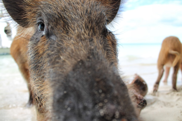 Schweine Bahamas