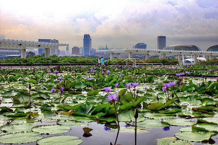 Ein-Tag-in-Singapur-Singapur-Seerosen