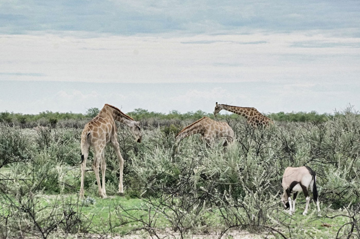 Giraffe-Afrika