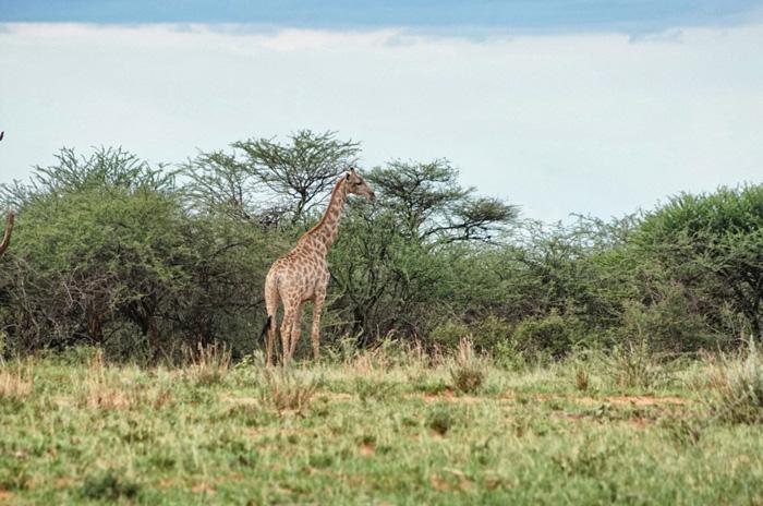 Giraffe-Namibia