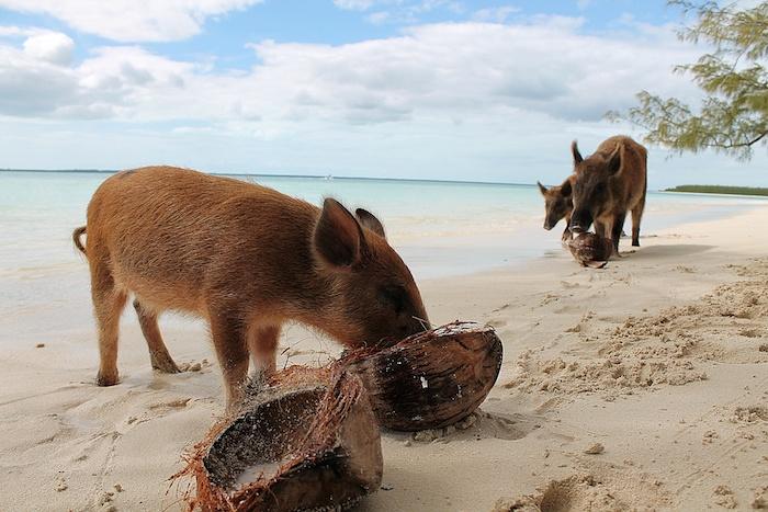 Kokosnuss schwein Bahamas