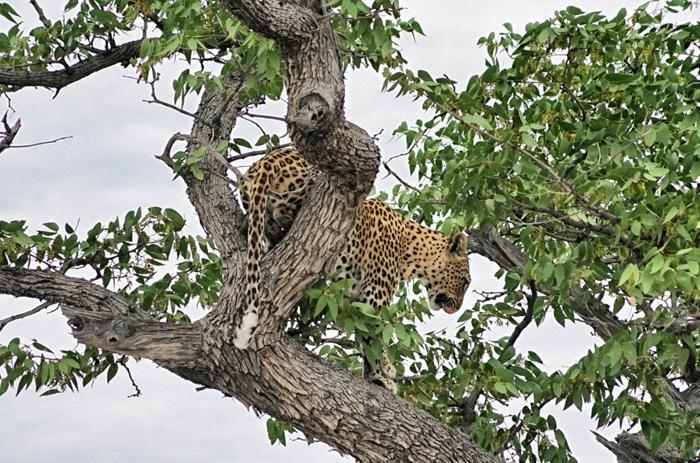 Leopard-Afrika-Namibia