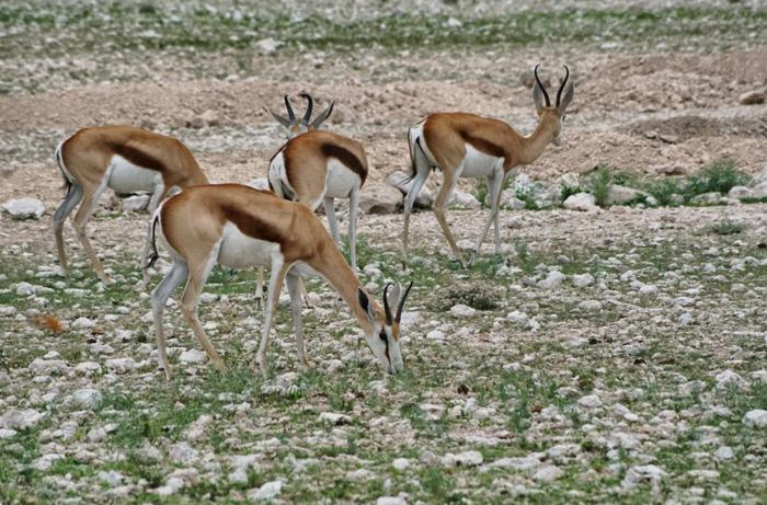 Safari-Ethosha