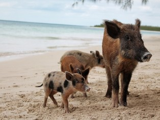schweine familie