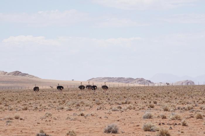Strauss-Namibia