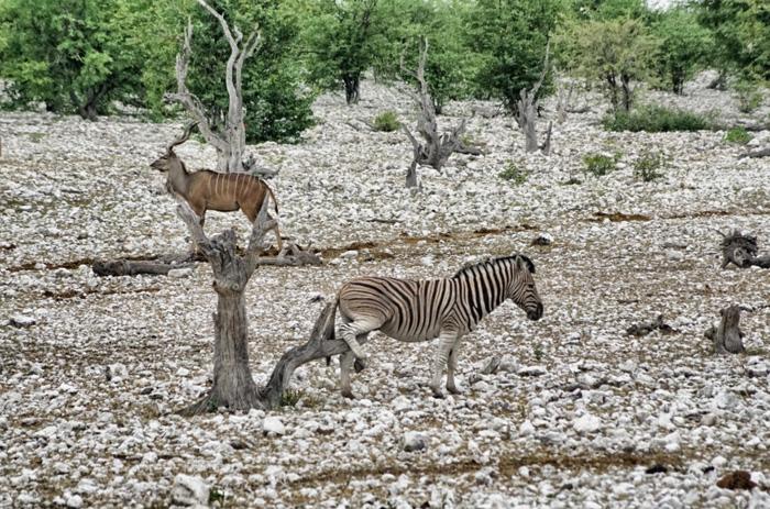 Zebra-Afrika