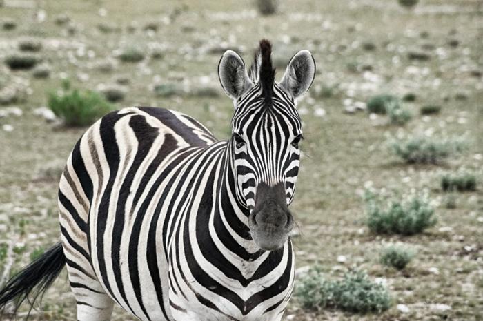 Zebra-Ethosha-Nationalpark