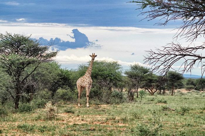 Afrika-Giraffe