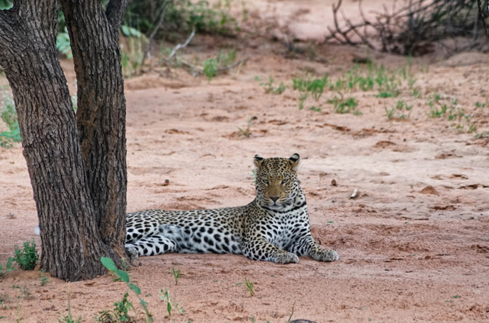 Leopard-Africat