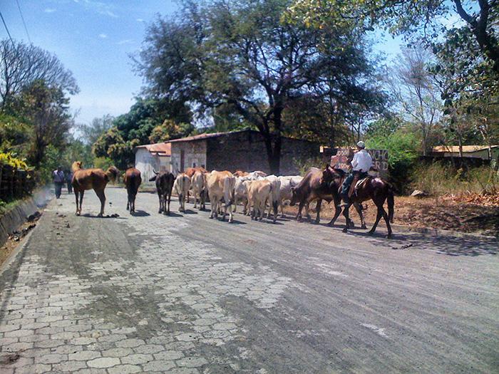 Mittelamerika-Kuhherde