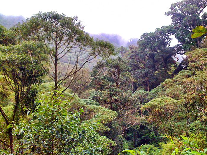 Mittelamerika-Wald