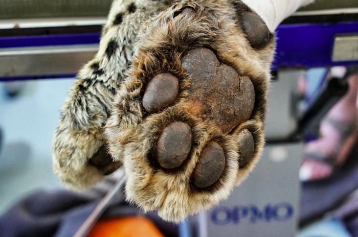 Pfoten-leopard