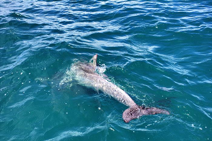 Suedaustralien-Delfin