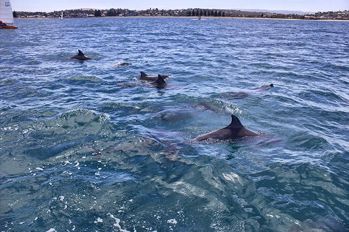 Adelaide Ausflüge-Delfine