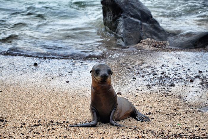 Galapagosinseln Robbe