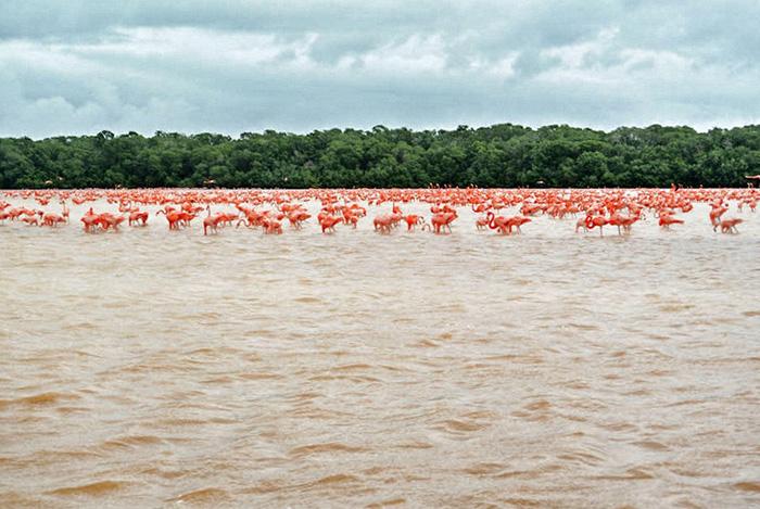 Flamingos-bei-Progreso