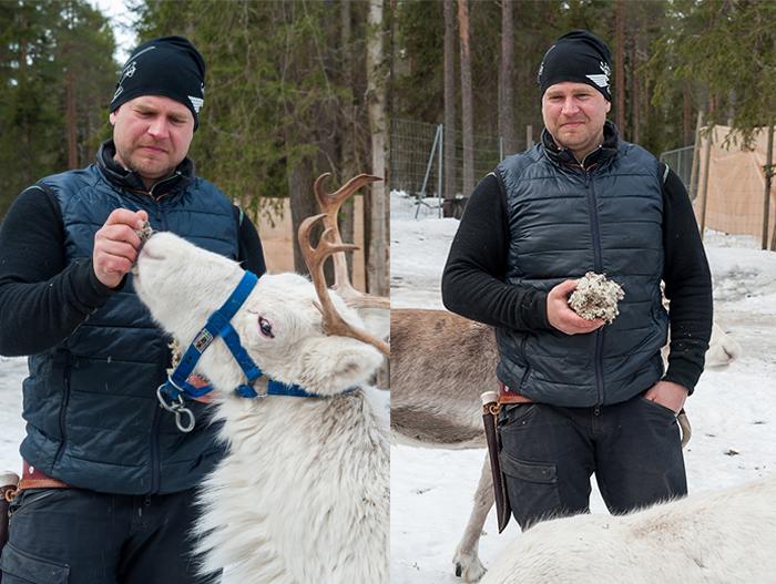 rentiere_lappland_sami