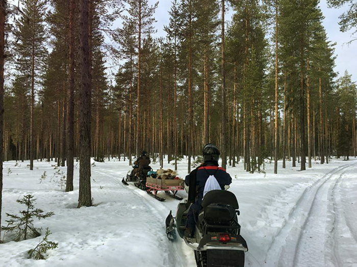 snowmobile_lappland_laura_pinetrees