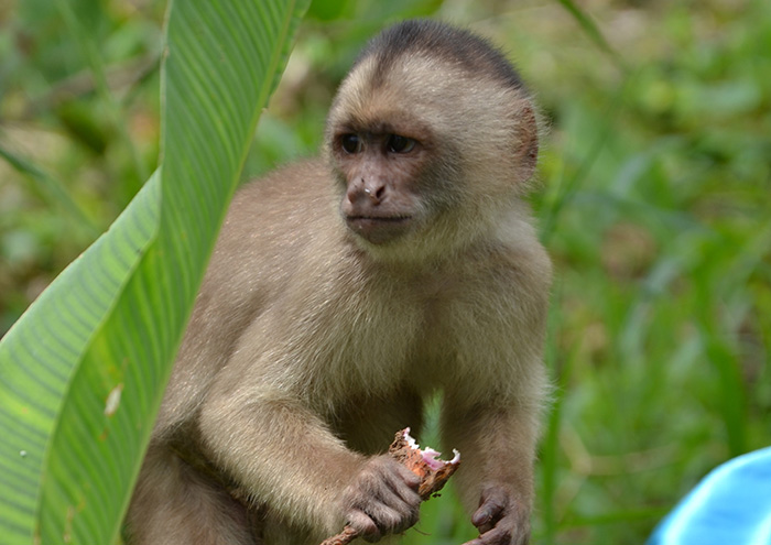 Ecuador Abenteuer-Affe