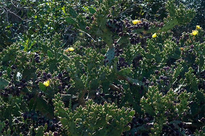 formentera_kaktusfeige