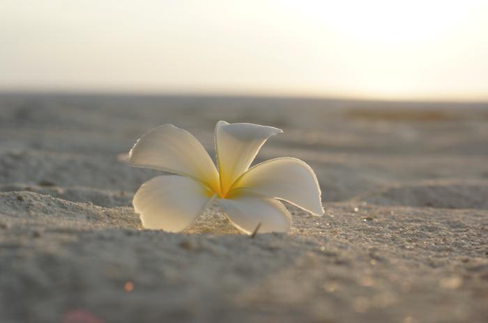 Malediven Blüte