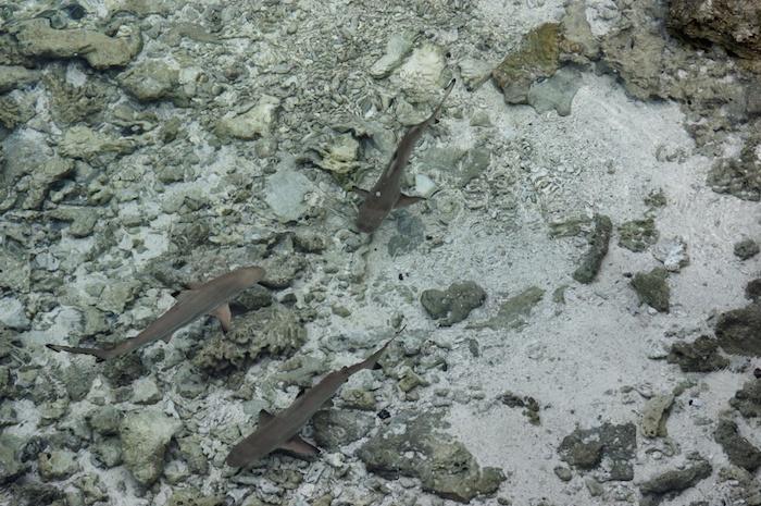 Malediven Riffhaie