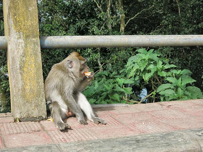 Reisetipps-Bali-Affe