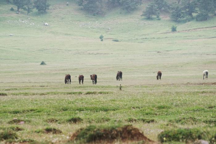 Wildpferde-Türkei