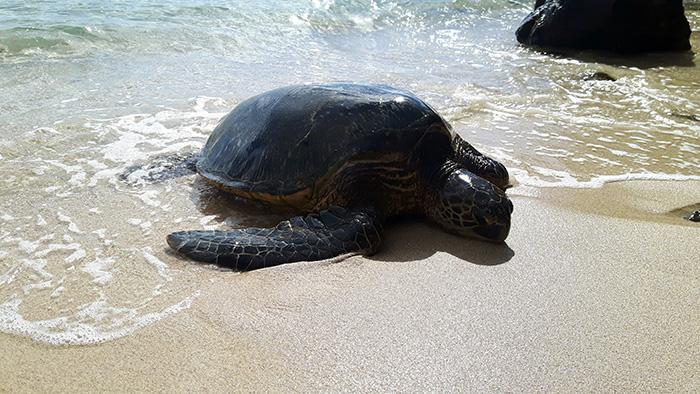 Maui-Strand-Schildkroete