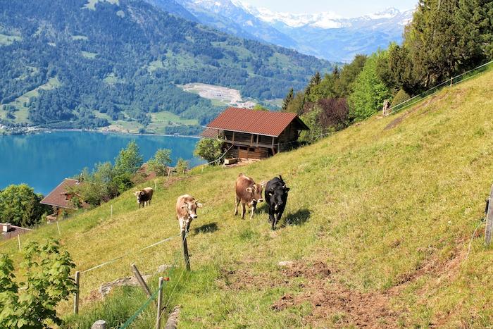Milchkühe Interlaken