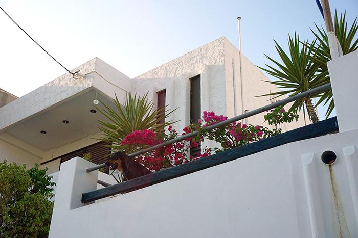 Afantou-Hund-auf-Balkon