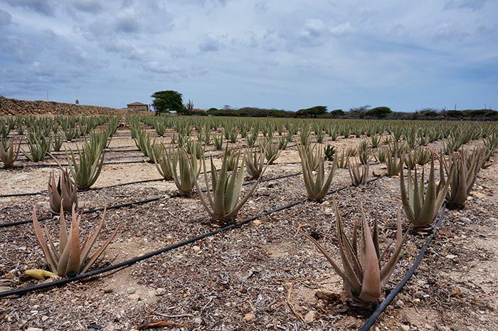 Aloe-Vera-ist-ein-Teil-Arubas-Geschichte