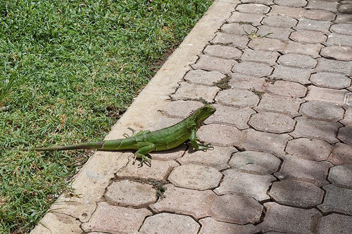 Leguane-gehoeren-zu-den-Inselbewohnern
