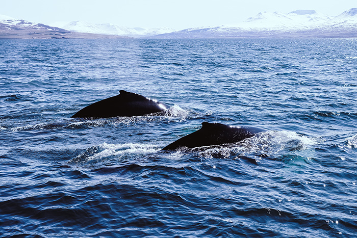 Whale-Watching-Akureyri
