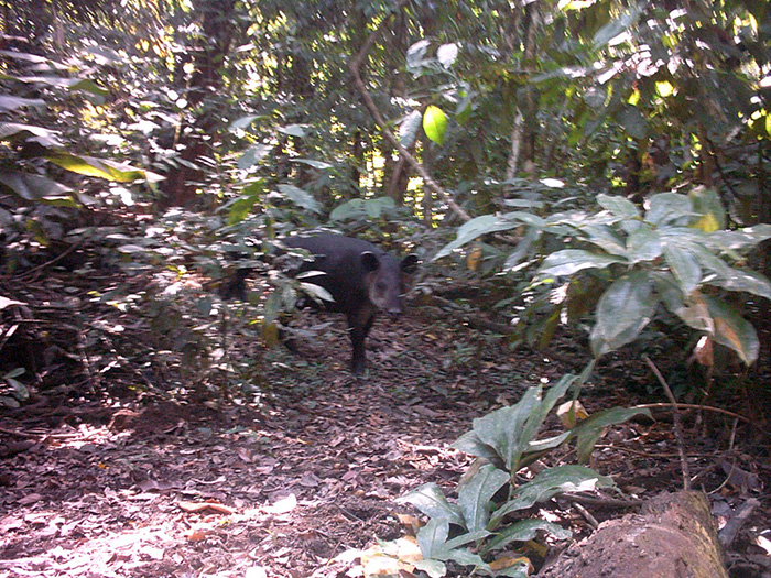 dschungeltour costa rica-Tapir