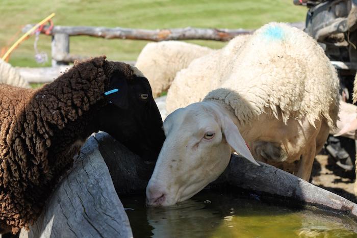 Schafe Alp Flix