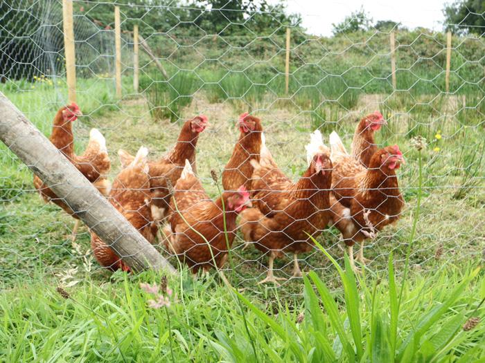 Organic-Farm-Hühner