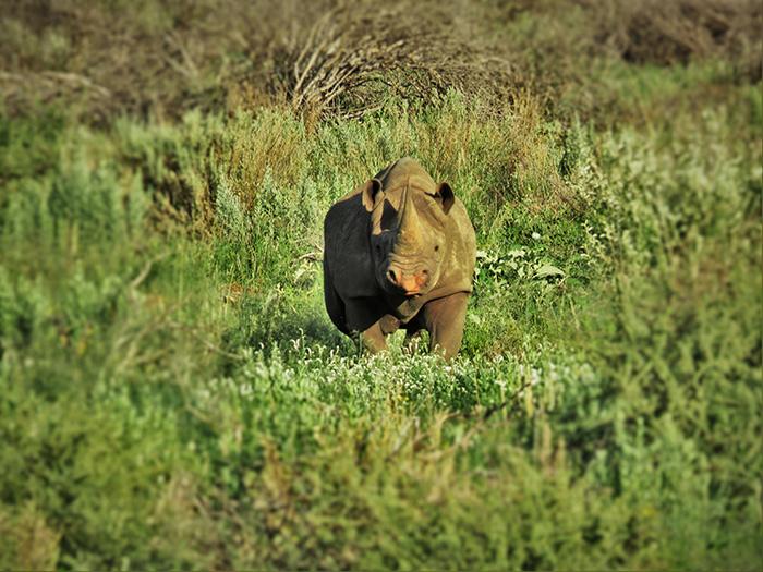 safari-1-nashorn-angriffslustig
